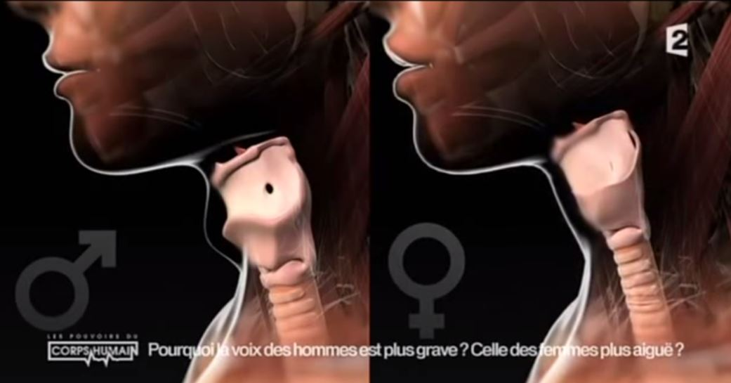 Cartilage larynx et voix